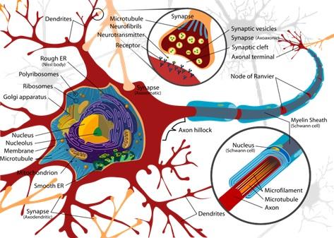 Hình ảnh của một Nơron thần kinh giống như Mindmap